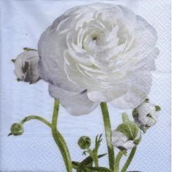 Biela ruža veľká